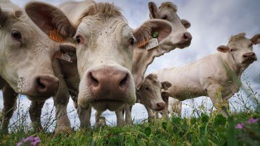 - Photo d'illustration - Des vaches charolaises dans leur champ / © GUILLAUME SOUVANT / AFP