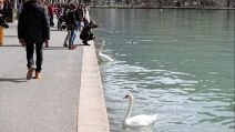 Cygnes Annecy